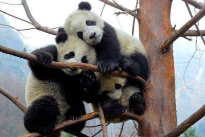 Poslednje tradicionalne pande